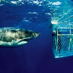 Cage diving with great whites!!