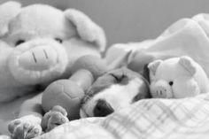 Baby Bullie sleeping soundly. <3 http://www.youmustlovedogsdating.com