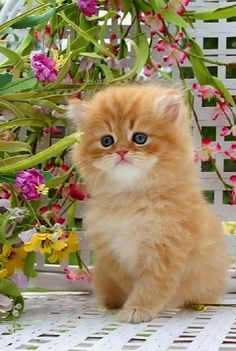 Red Tabby Toy Persian Kitten