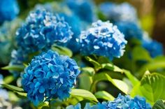 Hydrangeas are popular flowering shrubs with big summer blossoms. Some types of hydrangeas are very cold hardy, but what about zone 8 hydrangeas? Can you grow hydrangeas in zone Click this article for tips on zone 8 hydrangea varieties. Nikko Blue Hydrangea, Hydrangea Bloom, Hydrangea Care, Hydrangea Not Blooming, Hydrangea Flower, Growing Hydrangea, Green Hydrangea, Hydrangeas For Sale, Nature