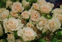 Cream gracia spray roses:  all year  $