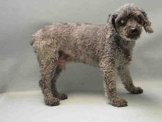 SAFE RTO - 03/31/16 - **SENIOR ALERT** - HERSHEY aka NAS - #A1068786 - SUPER URGENT Brooklyn - 03/29/16 - **DOH HOLD 03/29/16** - NEUTERED MALE GRAY POODLE MIN MIX, 10 Yrs - STRAY - HOLD FOR DOH-B - TENSE AND NERVOUS DURING EXAM