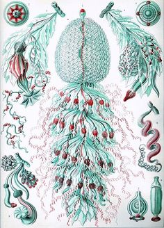Back at the turn of the 20th century (1899-1904), eminent German biologist Ernst Haeckel published a collection of 100 prints of a wide spectrum of organisms in a 10 volume set called Art Forms of ...