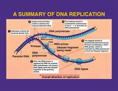DNA is found in the nucleus.  It carries the genetic information in all eukaryotes.   How is DNA organized?  -its basic structure is the dou...