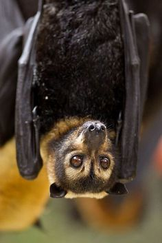 Chiroptera | An order of mammals that comprises the bats | There are over 900 living species of bats, and they are found on every continent except Antarctica.