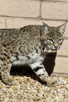 America's Southwest bobcat