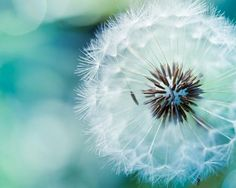 "Dandelion  - blue green teal nature photo print -  ""Delicate"""