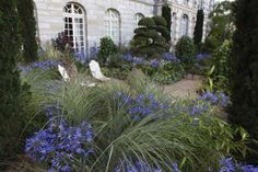 Amazing combination of Agapanthe and grass. Beautiful Home Gardens, Amazing Gardens, Formal Gardens, Outdoor Gardens, Agapanthus Garden, Cornwall Garden, Landscape Design, Garden Design, Garden Fountains