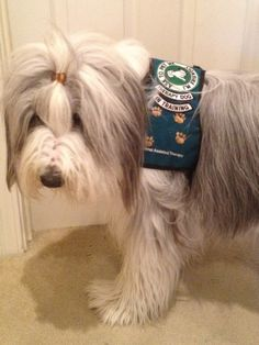 Snoopy's DogBlog:  therapy dog bearded collie therapy dog vest