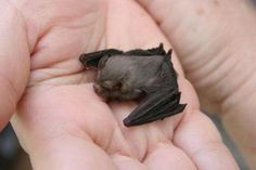 Kitti's hog nosed bat (aka bumble bee bat) the smallest mammal on earth. They weigh less than a penny.