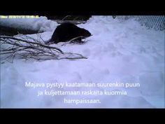 Ranuan eläinpuiston majavien talvi - YouTube