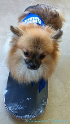 #BabyPom looks more like he's surfing  #BlogPaws #BlogPawsQuotes