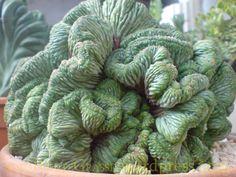 Euphorbia obesa crestata