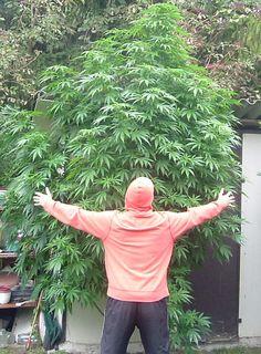 is it illegal to buy marijuana seeds online  http://www.growingmarijuanaebook.com/