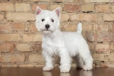 9 Facts About West Highland White Terriers | Mental Floss
