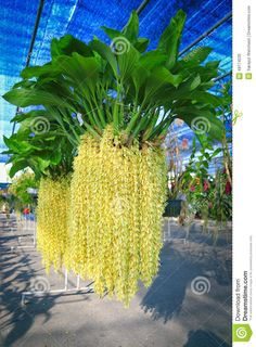 Image from http://thumbs.dreamstime.com/z/yellow-rhynchostylis-orchid-genus-abbreviated-as-rhy-horticultural-trade-member-family-orchidaceae-consisting-49174535.jpg.