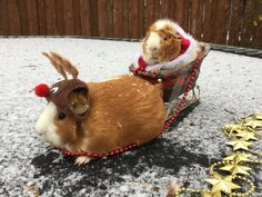 Hamster Santa and Hamster Rudolph Baby Guinea Pigs, Guinea Pig Care, Pet Pigs, Cute Little Animals, Cute Funny Animals, Funny Animal Pictures, Guinea Pig Costumes, Animal Costumes, Cute Piggies