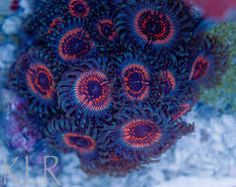 armagedons zoanthids - Google Search