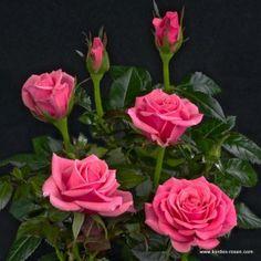 KORDES Rosen Esmeralda Kordana ® - Kordana-Topfrosen Die schönsten Rosen der Welt