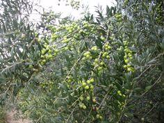 Oliveres - Olive trees - Olivos   @ Camps Aladesa - Sant Feliu de Llobregat, Barcelona, Catalunya