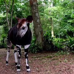 Okapi Reserve