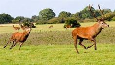 running stag - Google Search