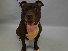 PRETTY RICKY - A1045739 - - Manhattan  TO BE DESTROYED 08/02/15 **NEEDS A NEW HOPE RESCUE**  Exactly 3 days after Pretty Ricky was found as a stray, Manhattan ACC wrote him off as not being worthy of a chance at adoption, put him on the next day's euthanasia list, and made him New Hope Only. Exactly what offense did Pretty Ricky commit? Well, it seems that this young boy got really excited when they were playing tag and just wouldn't give up his food, his toy or his raw