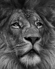 20 Photos That Relieve Stress Better Than A Psychologist Stress is one of the largest threats to our mental and physical health today. Here are 20 photos that relieve stress better than a psychologist. Lion Images, Lion Pictures, Daily Pictures, Image Lion, Lion Head Tattoos, Horse Tattoos, Animal Tattoos, Lion Chest Tattoo, Lion Tattoo Sleeves
