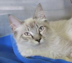 Angel is an adoptable Siamese Cat in Stratford, CT. Angel is a gorgeous, medium to long-haired, Siamese/tabby mix. He is young. He has been neutered and is up-to-date on his vaccinations. Angel, an...