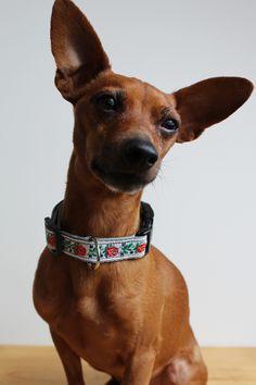 Paľo - dog collar with folk floral pattern #dog #dogcollar #obojok #prepsa #pes #miniaturepinscher #floral #folk #pattern