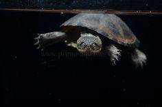 Turtle subniger-18