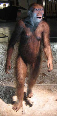 Australopithecus -Ricostruzione di un esemplare femmina di Australopithecus afarensis; notare l'andatura bipede. Wikipedia