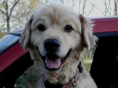 Maxie2 is an adoptable Golden Retriever Dog in Lake Charles, LA. What a happy boy! Certainly does not look like a boy surrendered by his family after seven years! Curiously, this senior boy, at least...
