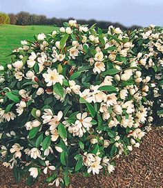 Groenblijvende, geurende struik. Magnolia 'Fairy'
