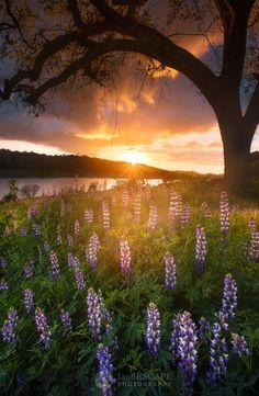 Once Upon a Time | This is a small corner of an amazing field of lupine that felt like a faraway fairytale land. near the Bay Area.