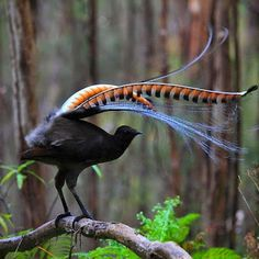The birds of paradise are a group of birds that are found in the tropical rainforests of south east Asia. These birds are best known for the beautiful array Kinds Of Birds, All Birds, Love Birds, Pretty Birds, Beautiful Birds, Animals Beautiful, Exotic Birds, Colorful Birds, Papua Nova Guiné