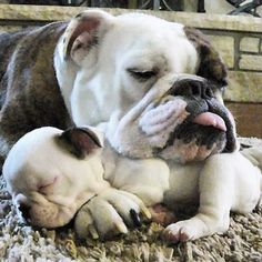 The major breeds of bulldogs are English bulldog, American bulldog, and French bulldog. The bulldog has a broad shoulder which matches with the head. Cãezinhos Bulldog, English Bulldog Puppies, Blue English Bulldogs, French Bulldogs, Cute Puppies, Cute Dogs, Dogs And Puppies, Doggies, Terrier Puppies