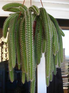 Selenicereus validus Fotografía tomada por ikilillo