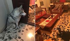 An Imgur user shared the hilarious images of the naughty husky and his trail of destruction after the family went to the cinema and came home to chaos. The post has been viewed more than 330,000 times.