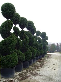 Awesome Topiary Gardens: Swirling topiary bushes topped off with a ball topiary.