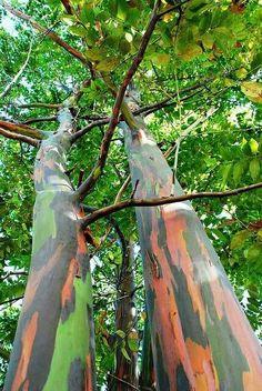 20 Pcs Rare Rainbow Eucalyptus Seeds Giant Showy Tropical Tree Seeds Japanese Bonsai For Garden Planting Baby And Lover Gift Rainbow Eucalyptus Tree, Weird Trees, Unique Trees, Old Trees, Tree Seeds, Tree Bark, Tree Tree, Nature Tree, Amazing Nature