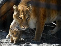 Picture of a mother liger and her liliger cub.Ever heard of a liger? It's the offspring of a male lion and female tiger.