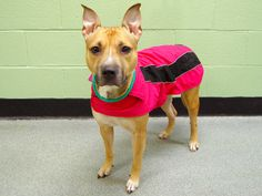 TO BE DESTROYED - 02/13/14  Manhattan Center    My name is WINTER. My Animal ID # is A0991268.  I am a female tan and white pit bull mix. The shelter thinks I am about 2 YEARS    I came in the shelter as a STRAY on 02/07/2014 from NY 10010, owner surrender reason stated was STRAY Main thread: https://www.facebook.com/photo.php?fbid=756368957709319&set=a.617938651552351.1073741868.152876678058553&type=3&permPage=1