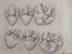 Molars drawing