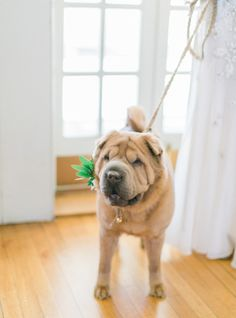 The cutest Shar Pei flower pup: http://www.stylemepretty.com/2016/05/13/see-the-cutest-furry-ring-bearer-who-walked-down-the-aisle/ | Photography: Sophie Kawalek Photography - http://sophiekawalekphotography.com/