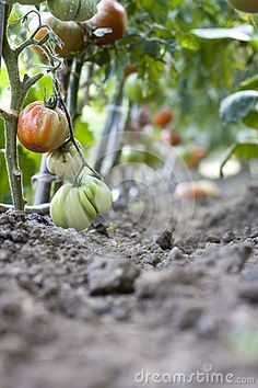Green And Ripe Tomatoes - Download From Over 31 Million High Quality Stock Photos, Images, Vectors. Sign up for FREE today. Image: 32954788