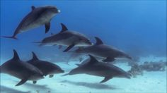 Amazing Scuba Diving with the dolphins on a Monday morning ! #Maldives #scubadiving #mondaymorning #dolphins #fantastic #luck www.cruise-maldives.com