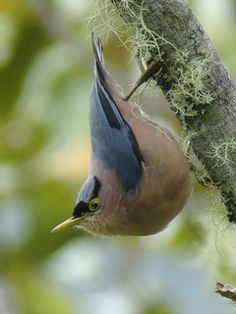 Sulphur-billed Nuthatch, Kitanglad. Expert guided birding tours & free info on birdwatching in the Philippines