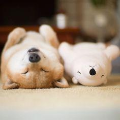 Shiba Inu dog keeps falling asleep in same position as his look ...