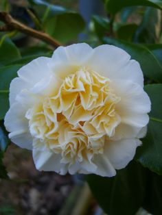 Camellia 'Jury's Yellow'- about as yellow as hardy Camellias get. (Spring)